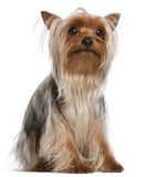 Yorkshire Terrier, 1 year old, sitting Stock Images