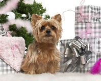 Yorkshire Terrier, 1 year old, sitting Stock Photos