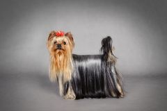 Yorkshire Terrier royaltyfria bilder