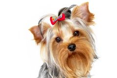Yorkshire terrier. Portrait on isolated white background Stock Photo
