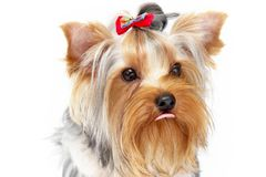 Yorkshire Terrier. Portrait isolated on white background Royalty Free Stock Images