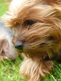 Yorkshire Terrier. Small dog´s face portrait. Yorkshire Terrier closely Royalty Free Stock Photography