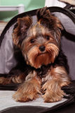 Yorkshire terrier. Portrait of a yorkshire terrier  in a bag Stock Photos