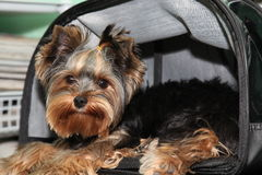 Yorkshire terrier. Portrait of a yorkshire terrier  in a bag Royalty Free Stock Photo