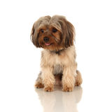 Yorkshire Terrier. Portrait of a yound Yorkshire Terrier Royalty Free Stock Image
