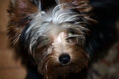Yorkshire terrier Immagine Stock