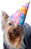 Yorkshire terrier Stock Photo