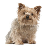 Yorkshire-Terrier, 12 Jahre alt, sitzend Lizenzfreie Stockfotos