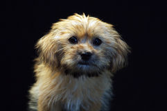 Yorkshire Terrier. Yorkshite Terrier with black ground Stock Photos