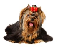 The Yorkshire Terrier. Isolated on the white background Royalty Free Stock Image