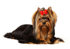 The Yorkshire Terrier. Isolated on the white background Stock Photos