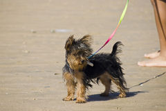Yorkshire Terrier. A Yorkshire Terrier at windy sunny day at the beach Stock Images