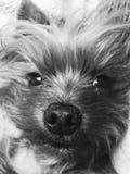 Yorkshire Terrier stock foto's