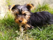 Yorkshire Terrier stock foto