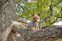 Yorkshire-Terrier Lizenzfreies Stockfoto