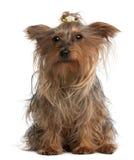 Yorkshire Terrier, 14 gammala som år sitter Arkivfoto