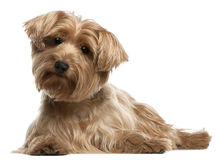 Yorkshire Terrier, 14 years old, lying Stock Photo