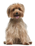 Yorkshire Terrier, 14 years old, sitting Stock Photos