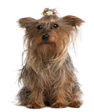 Yorkshire Terrier, 14 years old, sitting Stock Photo