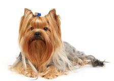 Yorkshire Terrier. Isolated on white Royalty Free Stock Images