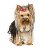 Yorkshire Terrier (15 months) Stock Photos