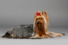 Yorkshire terrier. Male Yorkshire terrier, lying on a gray background. Not isolated Royalty Free Stock Photos