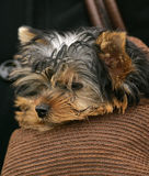 Yorkshire Terrier. Sits in a female bag royalty free stock photo