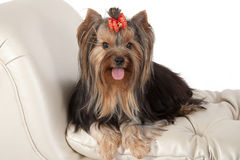 Yorkshire terrier. Stock Photography