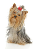 Yorkshire Terrier. Dog in front of a white background Stock Photos
