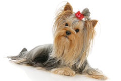 Yorkshire Terrier. Dog in front of a white background Stock Image