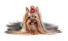 Yorkshire-Terrier stockbild