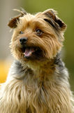 Yorkshire-Terrier Stockbild