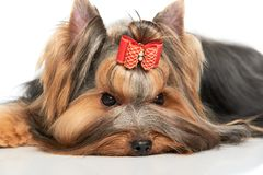 Yorkshire-Terrier stockbilder