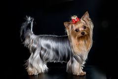 Yorkshire terrier. Isolated on black background Royalty Free Stock Image