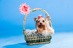 Yorkshire terrier. In basket isolated on blue background Royalty Free Stock Photography
