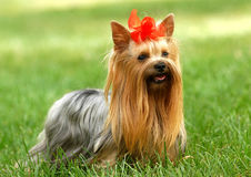 Yorkshire terrier. On the grassland Stock Photos