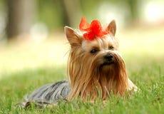Free Yorkshire Terrier Stock Photos - 19069573