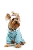 Yorkshire terrier. Amusing Yorkshire terrier in a white cap Stock Images