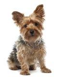Yorkshire Terrier, 2,5 gammala år, sammanträde Royaltyfri Foto