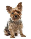 Yorkshire Terrier, 2.5 years old, sitting Royalty Free Stock Photo