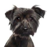 Yorkshire Terrier, 2 gammala år Royaltyfria Bilder