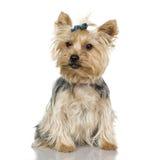 Yorkshire-Terrier (2 Jahre) Lizenzfreie Stockfotos