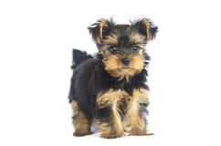 Yorkshire Terrier (2 months). On white background Royalty Free Stock Photography