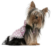 Yorkshire Terrier, 2 years old, dressed up a Stock Photos