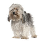 Yorkshire Terrier, 2 years old, standing Royalty Free Stock Images