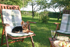 Yorkshire terrier. Lies on picnic chair at garden stock images
