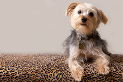 A Yorkshire Terrier Royalty Free Stock Image