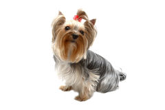 Yorkshire terrier. Dog of breed yorkshire terrier on cleanly white background Stock Photography