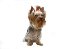 Yorkshire terrier. Dog of breed yorkshire terrier on cleanly white background Royalty Free Stock Image