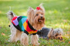 Yorkshire terrier royalty free stock image